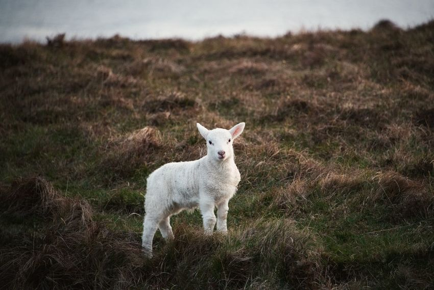 Lamb Scotland Animal Animal Themes Domestic Domestic Animals Land Livestock Mammal Nature One Animal Sheep