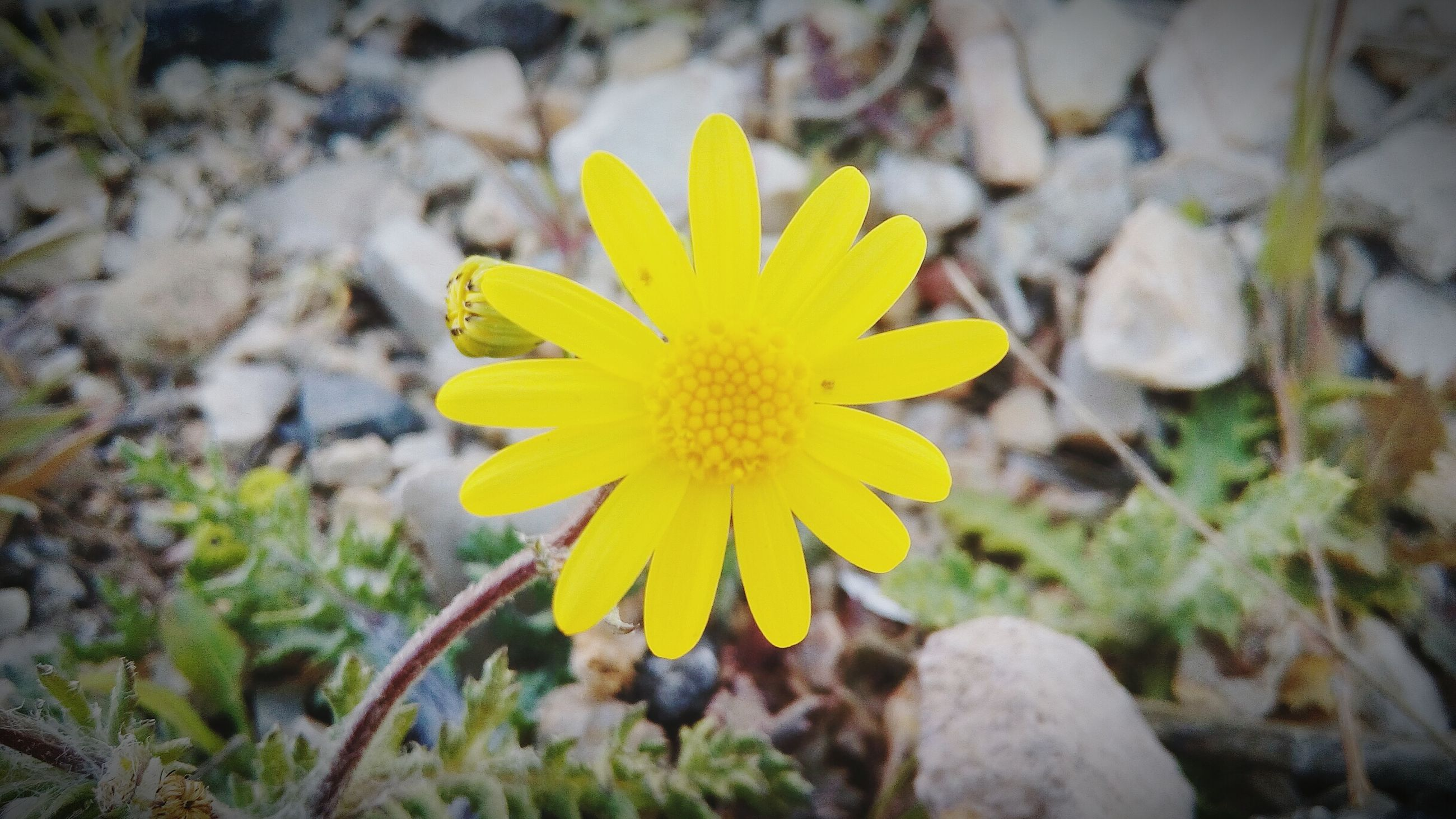 flower, yellow, petal, fragility, growth, focus on foreground, close-up, freshness, beauty in nature, flower head, nature, plant, blooming, single flower, field, in bloom, day, outdoors, selective focus, no people