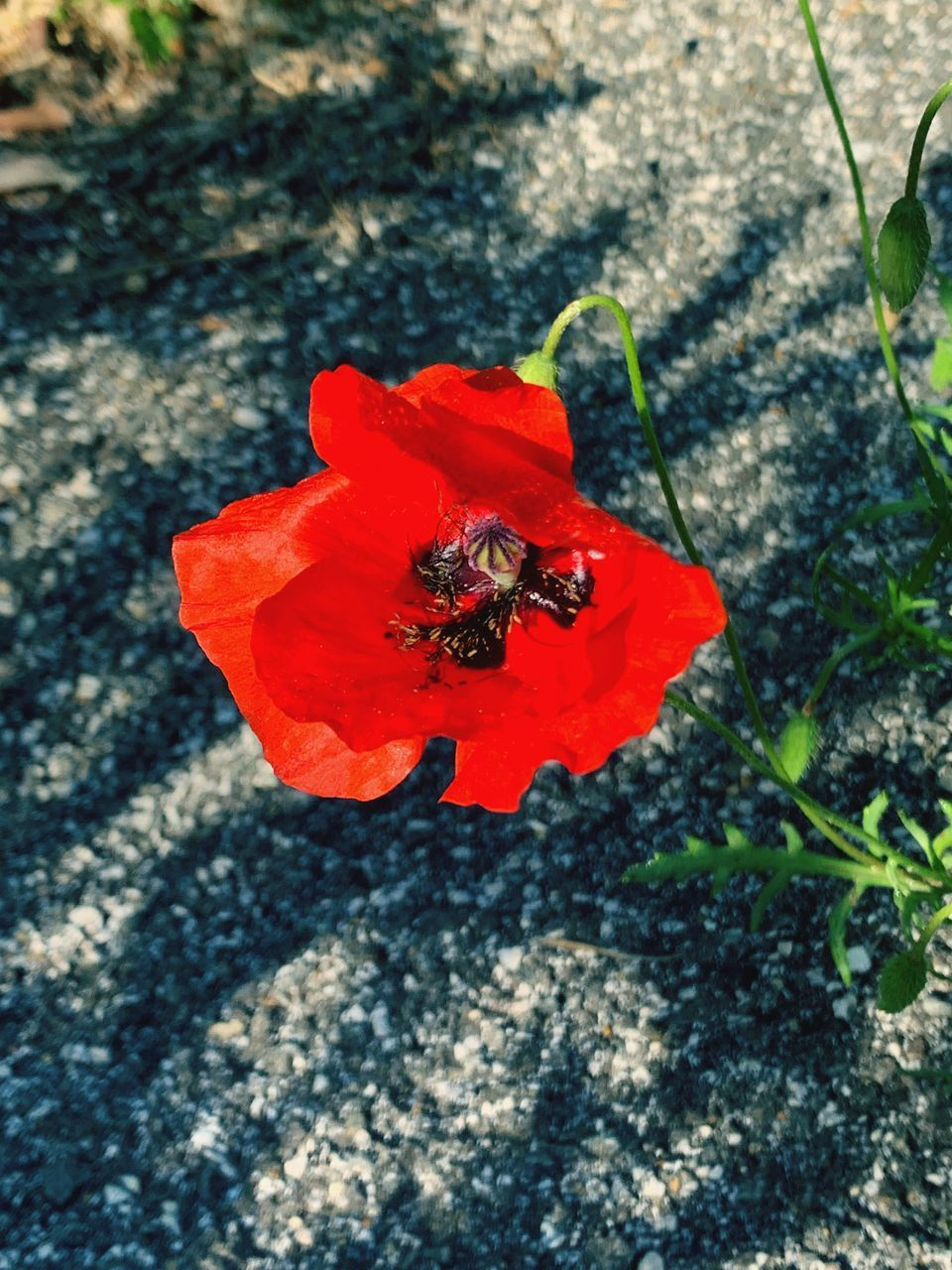 animals in the wild, invertebrate, insect, red, animal wildlife, animal, animal themes, high angle view, flower, beauty in nature, close-up, nature, flowering plant, petal, day, one animal, fragility, plant, no people, vulnerability, outdoors, flower head, pollen, pollination