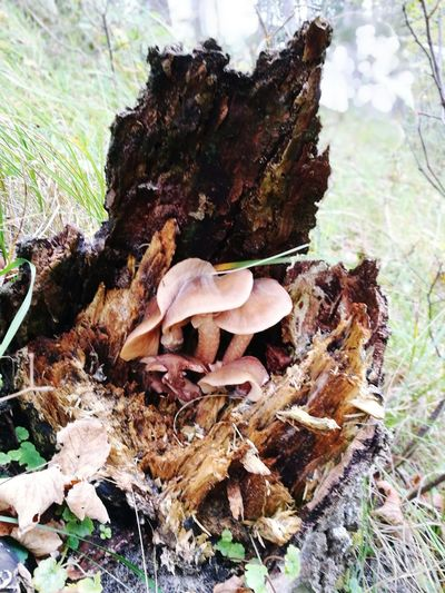 Brown Mushrooms Fungus Mushroom Nature Forest Growth Tree Trunk Outdoors Beauty In Nature No People Tree Day Toadstool Dead Tree Giving Life Dead Tree Trunk Fungi Dead Tree Stump
