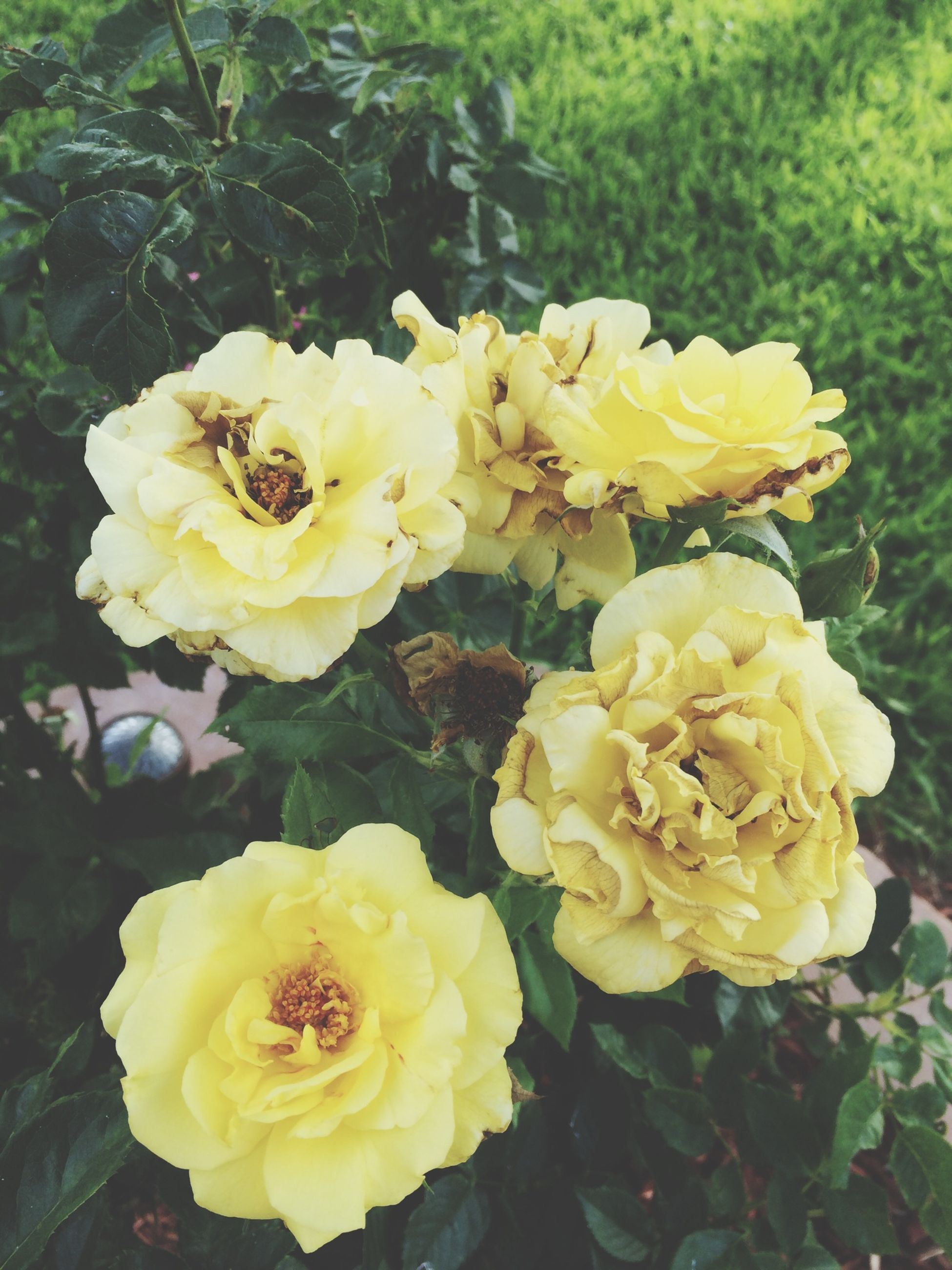 flower, petal, freshness, flower head, fragility, yellow, growth, beauty in nature, blooming, plant, nature, rose - flower, close-up, high angle view, focus on foreground, in bloom, no people, day, park - man made space, outdoors