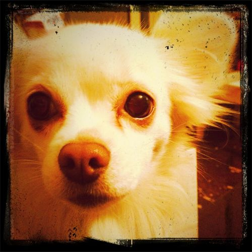 Dog (Roxie)