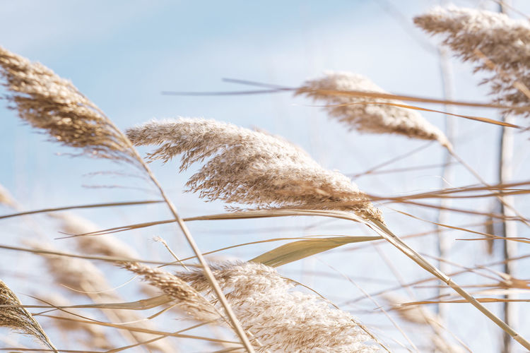 Dry reed on the lake, reed layer, reed seeds. golden reeds on the lake sway in the wind