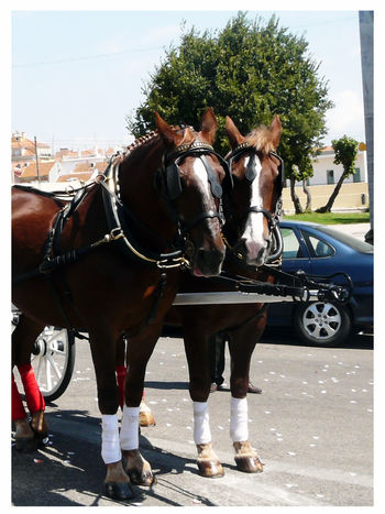 Two Horses Duo Animal Duo Two Brown And White Horses, Horse To Couple Team Twice Mode Of Transportation Prepared Horses White Frame Day Vertical Photography