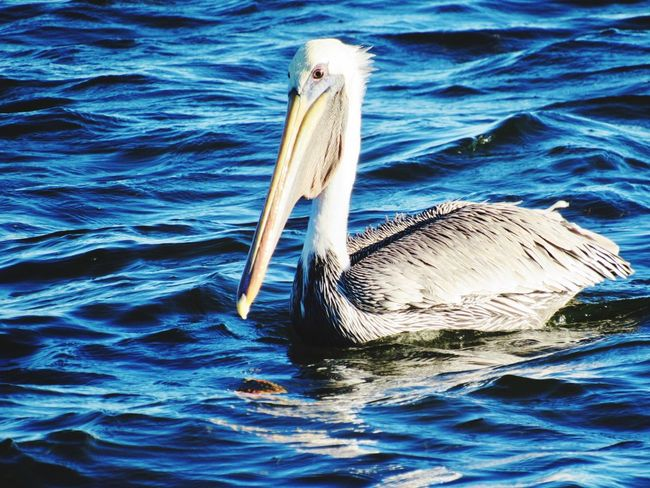 Rockport Texas Water One Animal Animals In The Wild Swimming Animal Themes Bird Lake Nature Day Pelican No People Water Bird Outdoors Swan