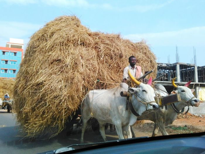 One Person One Man Only Agriculture Mammal Occupation Only Men Adult People Working Adults Only Domestic Animals Day Sky Outdoors Outdoor Photography Hay Village Scene EyeEmNewHere Way Workers