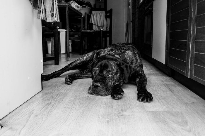 Animal Beautiful Big Dog Black And White Cane Corso Canine Cute Dog Entrance Guarding Home Indoors  Kitchen Look Love Lying Down Mastiff Monochrome Pet Portrait Posing Pure Breed