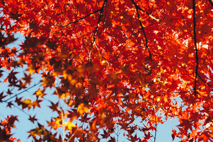 Autumn Autumn Orange Color Tree Change Plant Branch Leaf Plant Part Beauty In Nature Low Angle View No People Nature Day Growth Maple Leaf Outdoors Maple Tree Red Full Frame Backgrounds Autumn Collection Natural Condition Leaves Fall Autumn colors