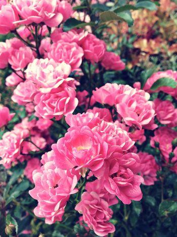 Rose - Flower Pink Rose Flower Head Pinkroses Blossom In Bloom Plant Life Botany Focus