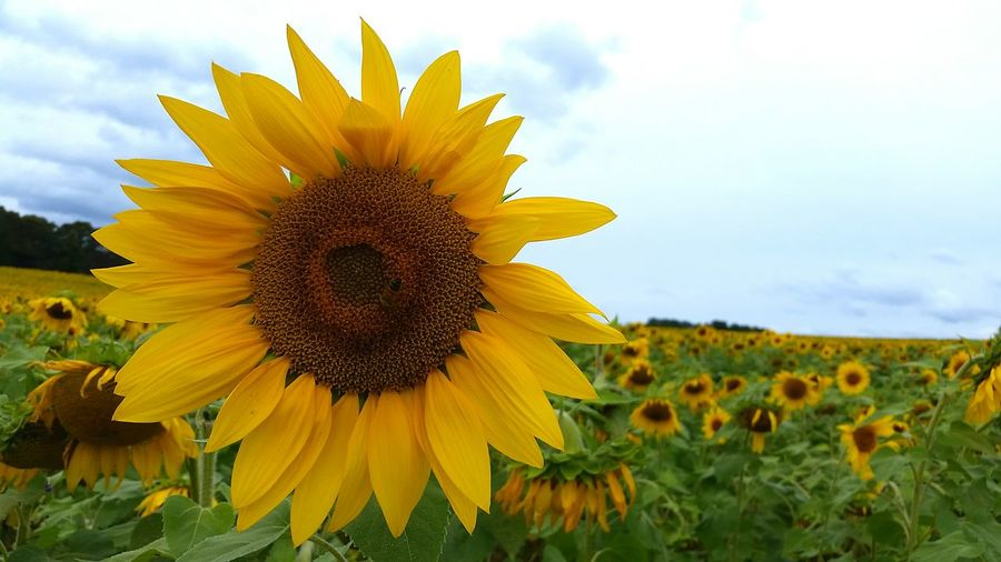 Sunflower Sunshine Flowers Greenliving Circleoflife Organic Natural