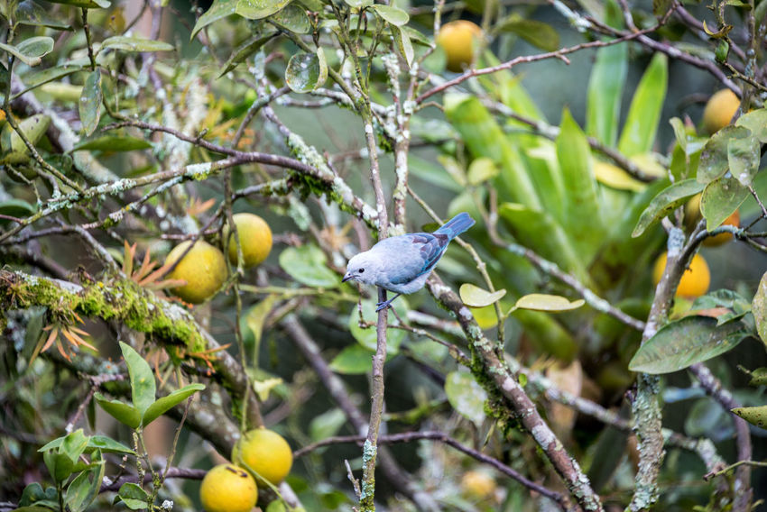 Blue Gray Tanager in an orange tree near Manizales, Colombia Citrus  Colombia Farm Manizales Nature Orange Tree Trees Bird Branch Caldas Chinchina Forest Fruit Garden Gray Grove Orchard Plantation Rainforest Ripe South America Tanager Tree Tropical