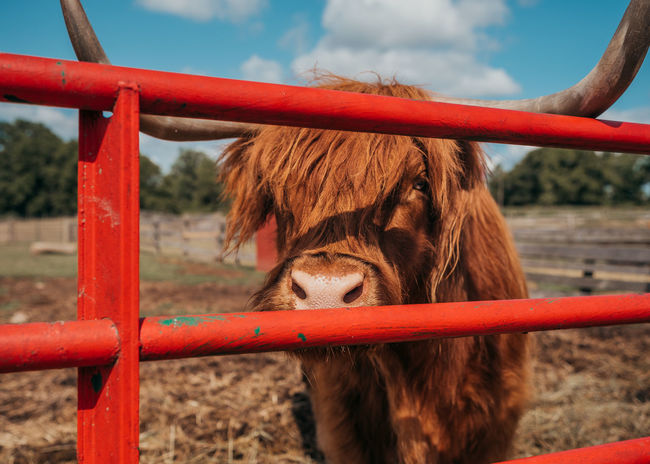Bull Horns Animal Animal Head  Barrier Brown Cow Fence Focus On Foreground Livestock Mammal No People Outdoors Steer