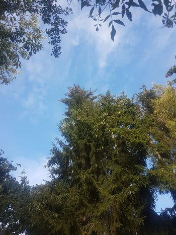 Blick zum Himmel Tree Tree Area Branch Forest Pine Tree Leaf Pinaceae Sky