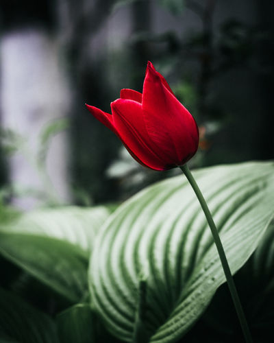 Burning Desire Flower Flowering Plant Beauty In Nature Fragility Vulnerability  Plant Freshness Petal Close-up Growth Flower Head Inflorescence Red Focus On Foreground Nature No People Green Color Plant Stem Day Outdoors Nikon D7500 Tulip Intense Mood Garden EyeEm Best Shots EyeEm Gallery EyeEm Nature Lover Toronto Canada Ontario Fresh Photography Desire Hot