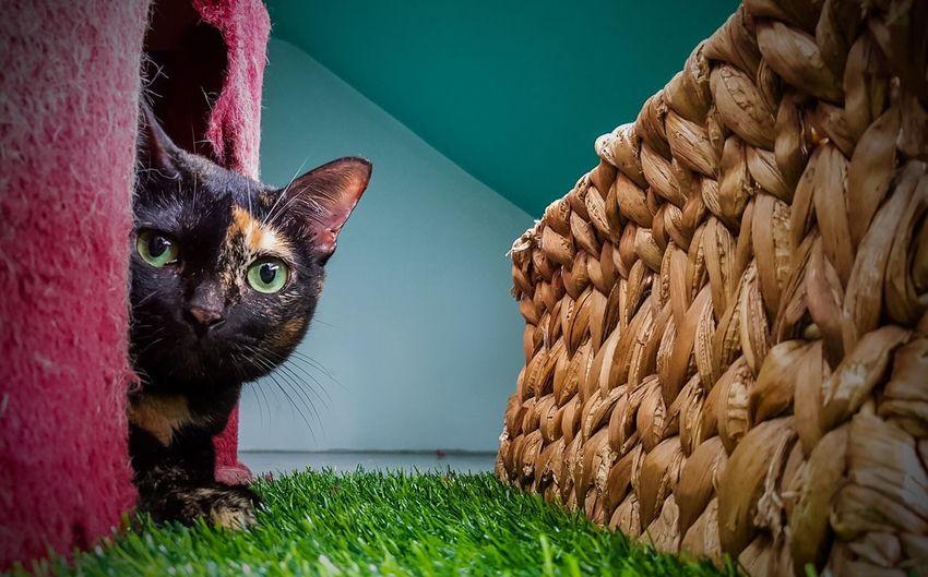 Be. Ready. Domestic Cat Pets Feline Peekaboo Tortoiseshell Cat Queen Animal Themes Fatcat  Be. Ready.