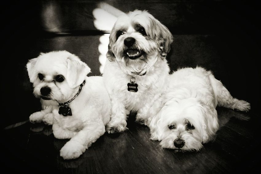 3 Dogs Three Animals Three Dogs ShiTzuForever🐶 Dogs Of EyeEm Dogoftheday Dogs Dog Portrait Dog Blackandwhite Black & White Black And White Photography Blackandwhite Photography Black And White Portrait