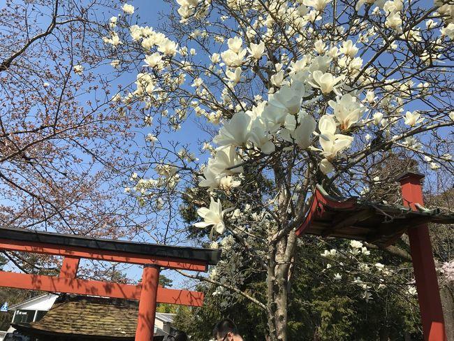 Springtime Flower Nara