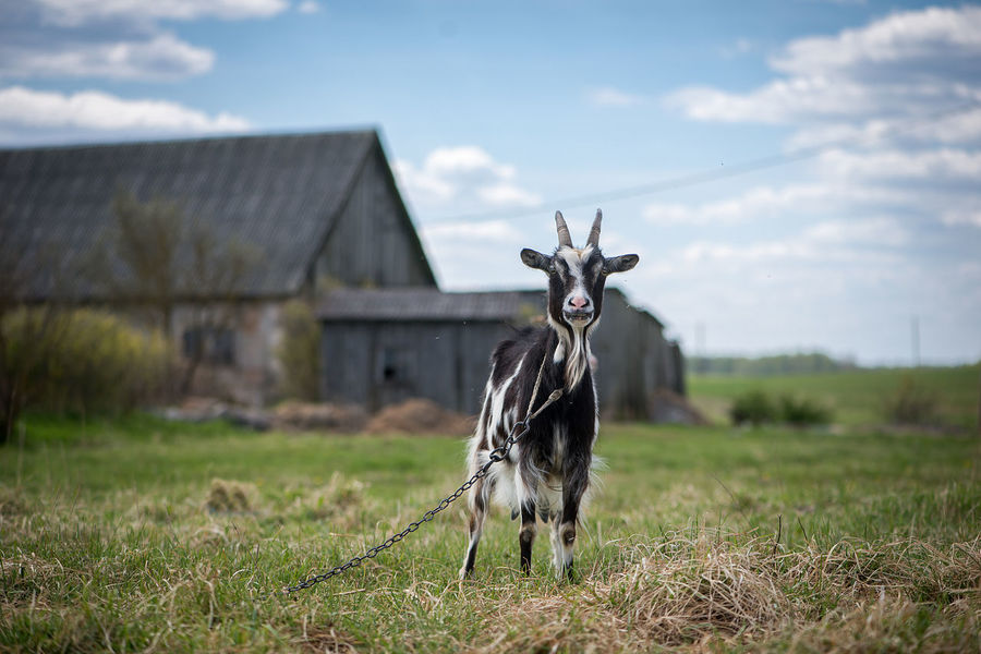 Agriculture Animal Themes Backgrounds Billy Goat Black Cattle Breeding Cloud - Sky Day Domestic Animals Farm Field Focus On Foreground Goat Grass Livestock Looking At Camera Mammal Nature No People One Animal Outdoors Pasture Portrait Rural Scene Sky
