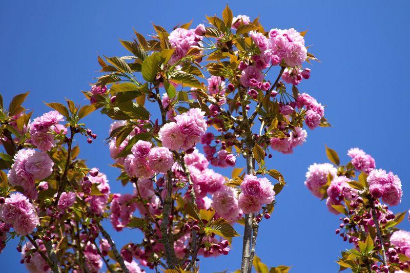 Showcase April Springtime Spring Blossoms  Blooming Cherry Blossoms Cherry Blossom Cherry Sky Naturelover Nature_collection Flowers Flower Collection Sakura Nature's Diversities