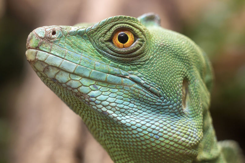 Animal Themes Animals In The Wild Close-up Depth Of Field Green Lizard Natural Pattern One Animal Reptile Scute Selective Focus Side View Squama Wildlife Yellow Eyes Zoology