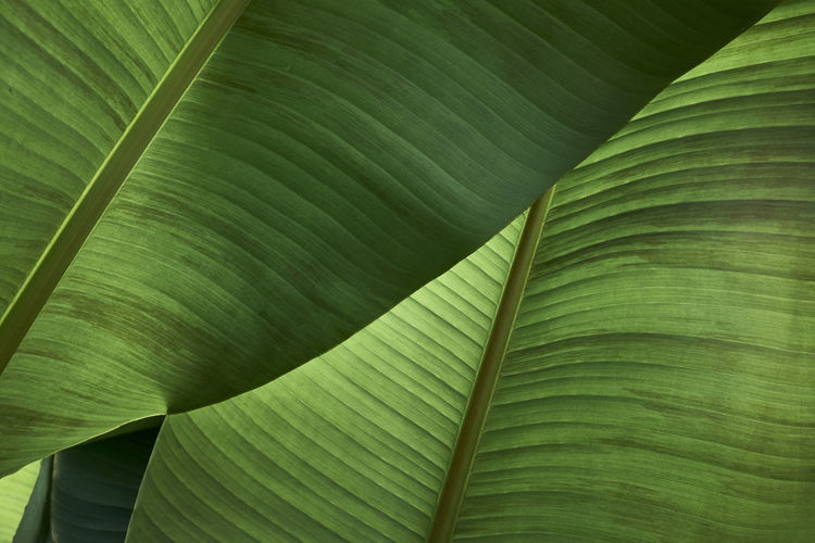 Close up some luscious green banana palm leaves. Gardening Shade Backgrounds Banana Leaf Banana Tree Beauty In Nature Close-up Cover Day Fragility Freshness Frond Fruit Full Frame Garden Green Color Growth Leaf Nature No People Outdoors Plant Textured  Tropical