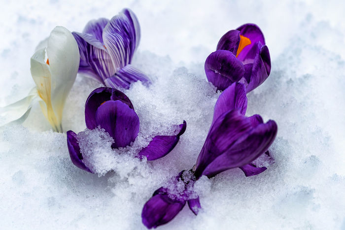 beauty in nature Beauty In Nature Close-up Cold Temperature Crocus Day Flower Flower Head Food Fragility Freshness Nature No People Outdoors Purple