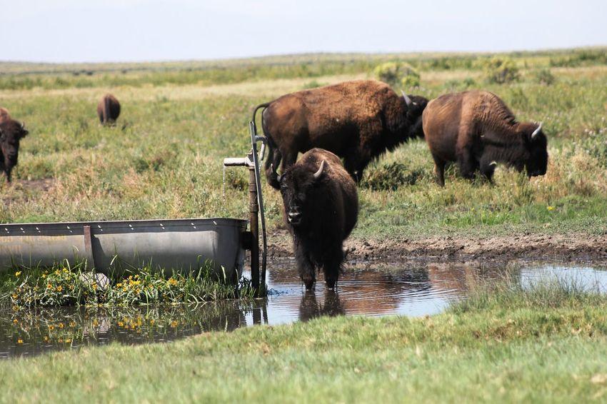 Grass Bison Herd Water Bison Watering Place Waterhole