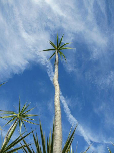 Palm Tree Low Angle View Sky No People Outdoors Cloud - Sky Nature Day Trees And Sky Blue Sky Florida Sky Beauty In Nature Growth Tree Skyporn Perspectives On Nature