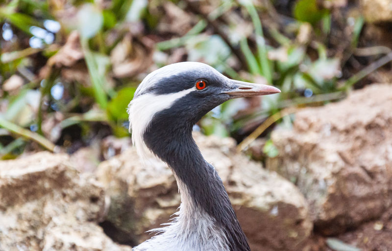 Blue african bird close-up Mangroves Resting Profile Ardesiaca Perching Balance Nice Black Blue Gambia  Preening Leg Cleaning Pretty Standing Relaxing Cool West Sharp Egretta Senegal One Bird Alert Umbrella Perched Egret Africa Animals In The Wild Animal Themes One Animal Animal Wildlife Vertebrate Animal Focus On Foreground Close-up Day Nature No People Beak Animal Body Part Looking Sunlight Looking Away Water Bird Outdoors Gray Animal Head  Animal Neck Profile View