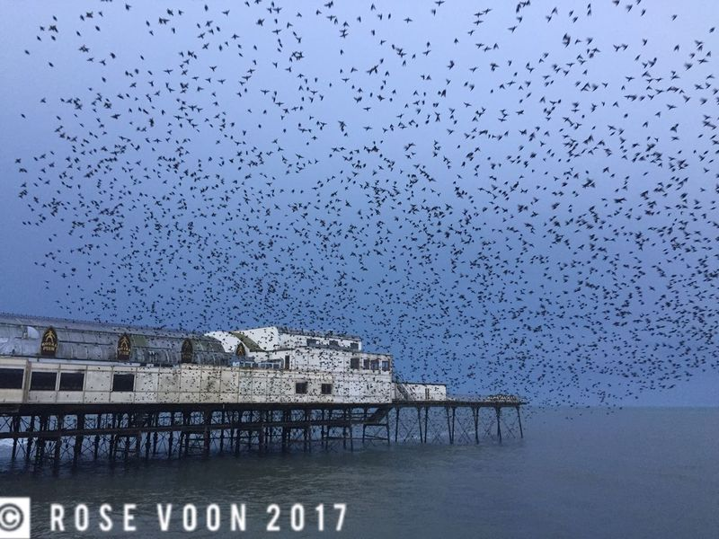 Starlings at blue hour at Royal Pier, Aberystwyth Aberystwyth Murmuration Of Starlings Wales Ceredigion Starlings Beauty In Nature Bluehour Cardigan Bay