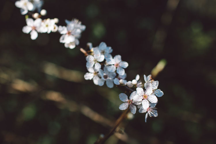 Flower Plant Flowering Plant Fragility Vulnerability  Growth Freshness Beauty In Nature Blossom Close-up White Color Tree Nature Inflorescence Petal Flower Head Focus On Foreground Twig Springtime Day No People Outdoors Pollen Cherry Blossom Cherry Tree Springtime Decadence