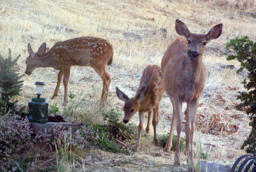 Animal Themes Day Deer Doe And Twin Fawns Eating Fawn Fawns Field Hey You ! Landscape Nature Outdoors Young Animal