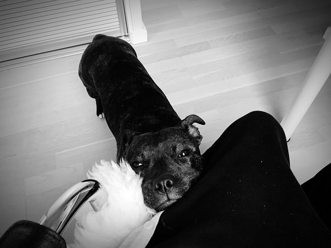 Mommy, look at me 💜🐶 Lookatthatface Can't Live Without Mydogiscoolerthanyourkids Staffordshire Bull Terrier Staffylove Cutenessoverload Ilovemydog gMybabydog gMylittleprincess Cute Pets