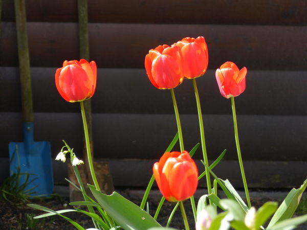Springtime ... :-) Beauty In Nature Blumen Blumenpracht🌺🍃 Day Flower Flower Collection Flower Photography Frühling Frühlingserwachen Garden Garden Photography Garten Growth Nature Nature Nature Photography No People Outdoors Plant Spring Flowers Spring Garden Spring Has Arrived Spring Into Spring Springtime Tulpen