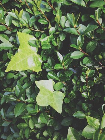 Leaf Green Color Growth Nature Plant Backgrounds No People Full Frame Day Beauty In Nature Outdoors Freshness Close-up