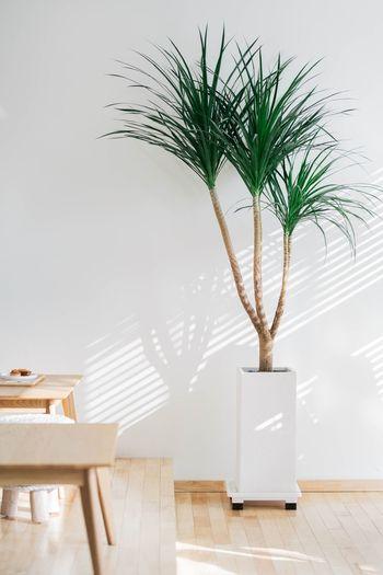 햇살, 나무, 흰벽, 인스타 최고의 조합 Plant Potted Plant Table Nature Wall - Building Feature Home Interior No People Day Sunlight Houseplant Flooring First Eyeem Photo