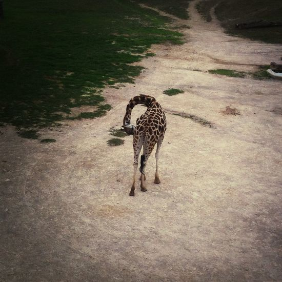 Zoo Giraffe Prague <33