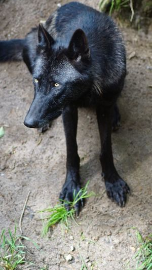 One Animal Black Color Animal Themes Mammal Animals In The Wild Outdoors Animal Wildlife Nature Beauty In Nature EyeEm Nature Lover WOlves Wolf Eye4photography  EyeEm Best Shots EyeEm Gallery Eyeemphotography Lonelywolf Close-up Sitting Waitingforfood Giveskud Denmark 🇩🇰🇩🇰🇩🇰