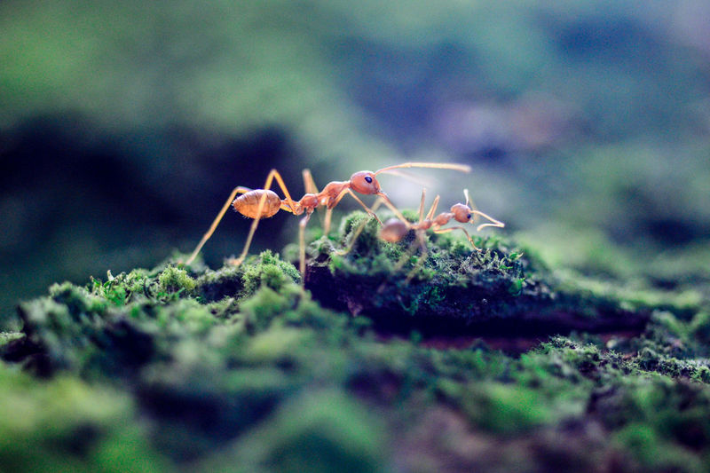 Close-Up Of Fire Ants On Moss