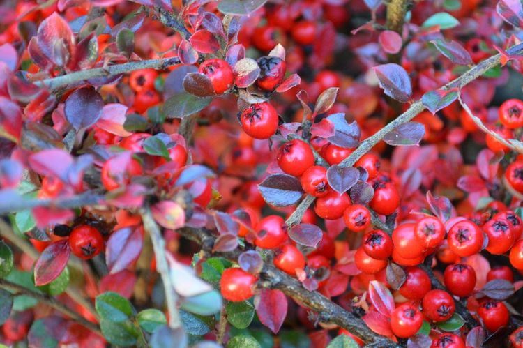 Fruit Red Berry Fruit Freshness Food Healthy Eating Plant Growth Cotoneaster Berries Outdoors Nature Cotoneaster Day Close-up Leaf Beauty In Nature Tree Full Frame Beauty Tree Multi Colored Branch Defocused Beauty In Nature Growth