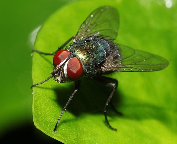 Fly House Fly Insect Photography Macro Photography Close-up First Eyeem Photo India