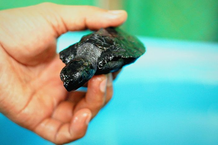 Turtle Hatchling Wildlife Marine Marinelife Baby Babyturtle Philippines