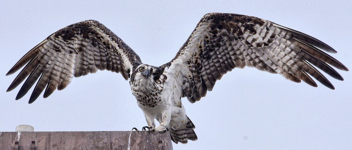 Low angle view of osprey perching on wall against sky