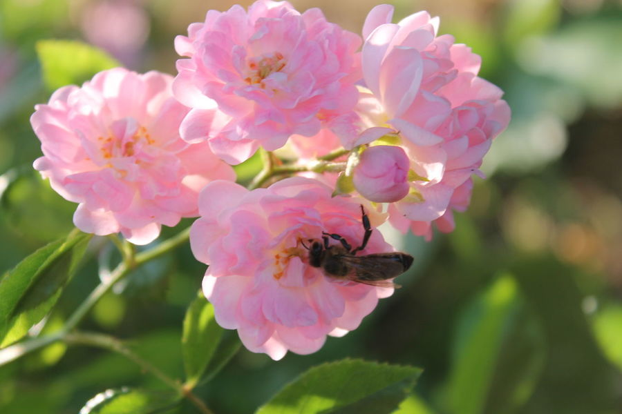 Cought On Camera 😁😍 Free Animal Themes Bee Flower Flying Fragility Little Bee Pink Color
