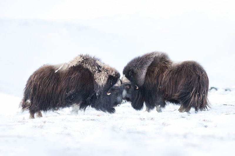Musk ox fighting on snow