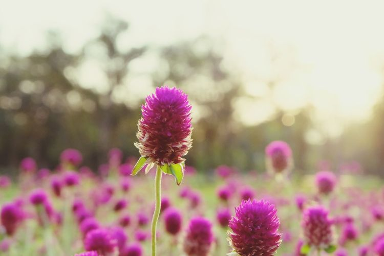 beautiful flowers Beautiful Flowers Landscape_photography Flower Head Eastern Purple Coneflower Flower Pink Color Purple Petal Springtime Close-up Sky In Bloom Plant Life Botany