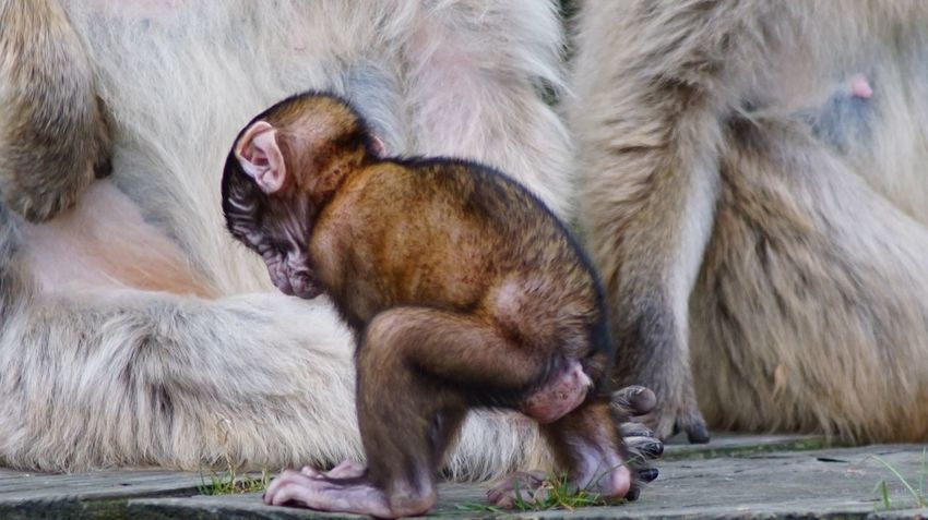 Animal Themes Mammal Young Animal Togetherness Animal Family No People Outdoors Animal Wildlife Animals In The Wild Monkey Day Close-up Nature Baboon EyeEm Gallery EyeEm Nature Lover Beauty In Nature Japanese Macaque Wildlife Nature Denmark 🇩🇰🇩🇰🇩🇰 Giveskud