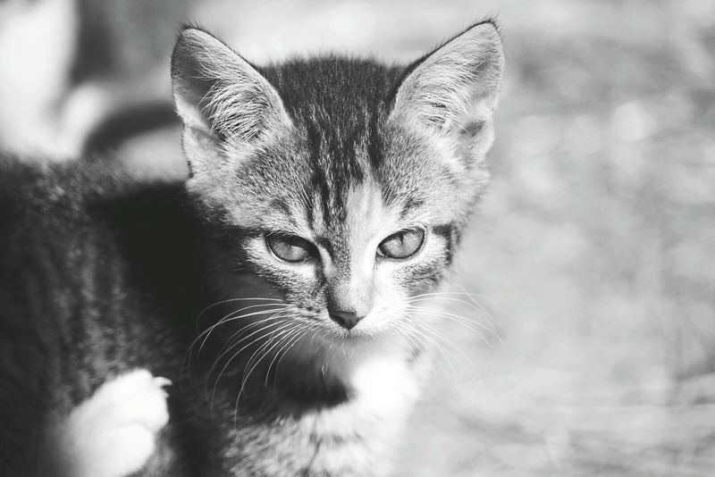 Little Kitten Cute Black And White Blackandwhite Black&white Farm Chimera
