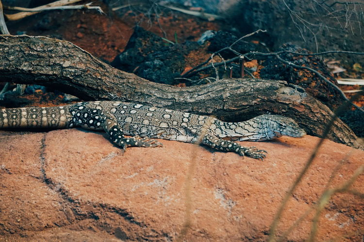 Close-Up Of Reptile On Rock
