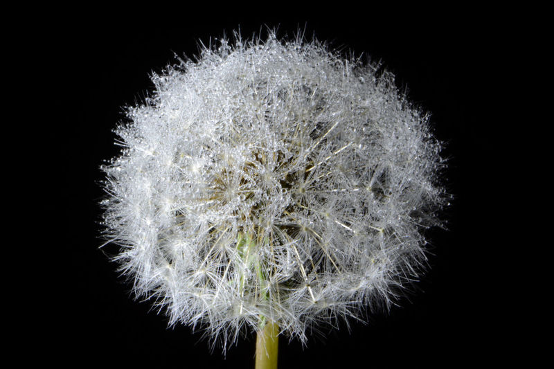 Black Background Close-up Dandelion Dandelion Clock Flower Fragility Gone To Seed Night Time Outdoors Plant Seeds Water Droplets